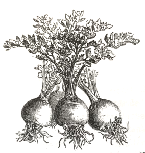 Sellerisorten Æbleformet. Billedet er fra Carl Hansens Selleriplantens Historie, Udbredelse og Anvendelse fra 1898.