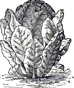 White Paris bindsalat. Billedet er fra Buist´s Almanac and Garden Manual fra 1888.