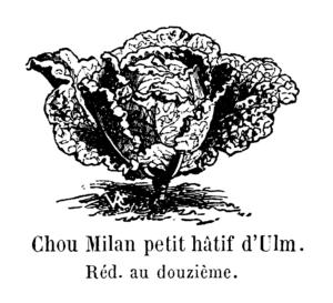 Billedet er fra Vilmorin-Andrieux & Cie, 1904. Les plantes potagères. Description et culture des principaux légumes des climats tempérés. ed. 3. Paris, Vilmorin-Andrieux.