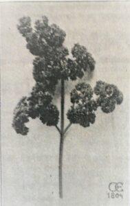 Kruspersille Ekstra Moskruset. Billedet er fra J. E. Ohlsens Enkes Frø til Haven fra 1935.