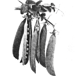 Skalærten Fænomen. Billedet er fra A. Hansens Frøhandels katalog fra 1935.