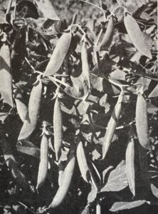 Marværten Kelvedon Wonder Kelwo). Billedet er fra J. E. Ohlsens Enkes hovedkatalog Fagstof for Fagfolk fra 1954.