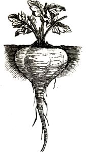 Rund Pastinak, som sandsynligvis også blev kaldt Sukker-Pastinak. Billedet er fra Norsk Havetidende 1892.