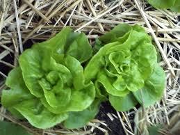 Salatsorten Wheelers Tom Thumb var meget dyrket halt fra sidste halvdel af 1800-tallet og frem mod 1950.