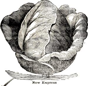 Express var en meget dyrket spidskål i Skandinavien før 1950. Den var også ophav til den mest dyrkede spidskålssort frem mod 1950: Erstling. Billedet er fra E. Annabil & Co. seed annual: Season 1902