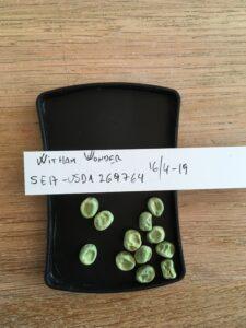 Witham Wonder. Fra genbanken i USA, U. S. National Plant Germplasm System N. P. G. S. Accessionsnr. PI 269764. Egen frøavl 2017 under insektnet.