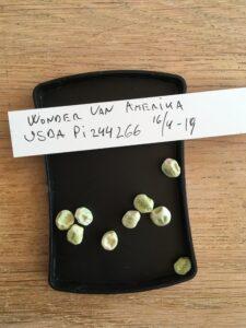 Wonder van Amerika. Fra genbanken i USA, U. S. National Plant Germplasm System N. P. G. S. Accessionsnr. 244266.
