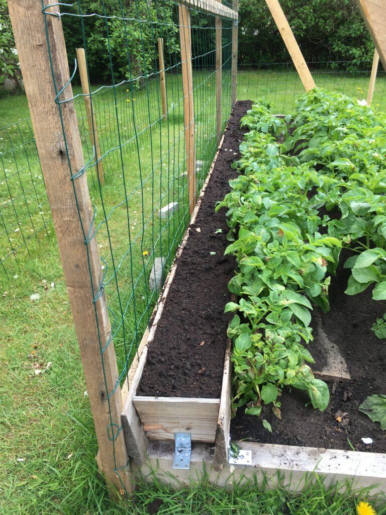 De syv prøver af Fairbeards Nonpareil blev udplantet bagerts i et nyt kartioffelbed. For at de små planter kunne nå op til sollyset bage de større kartoffelplanter var det nødvendigt at bygge et højbed i højbedet.
