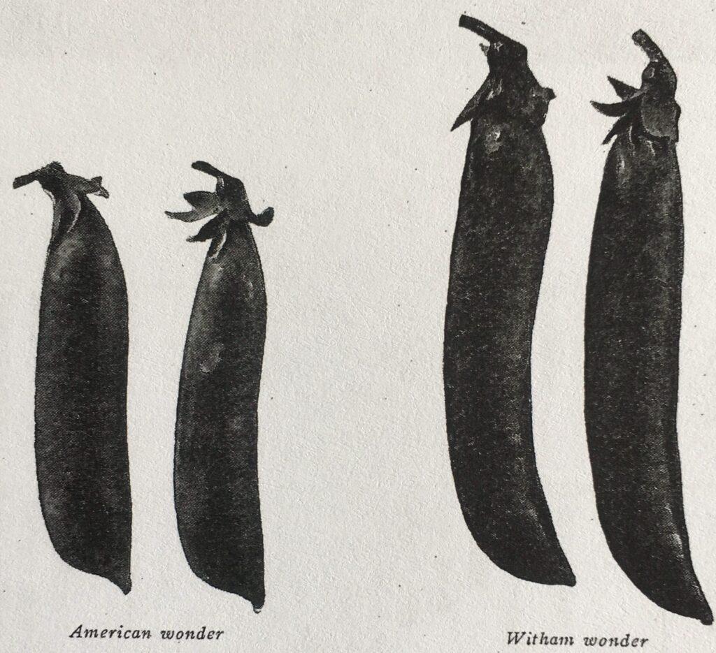 Bælgene hos de to lave ærtesorter 'American Wonder' og 'Witham Wonder'. Billede taget af C. G. Dahl til årbogen Sveriges Trädgårdsodling 1924.